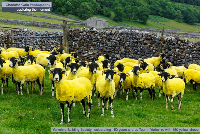 Yorkshire Building Society Tour de France Yellow Sheep
