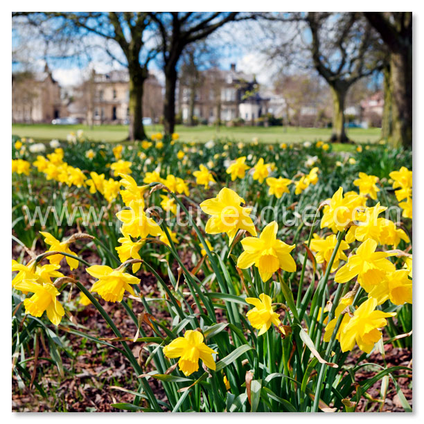 Stray Daffodils Harrogate