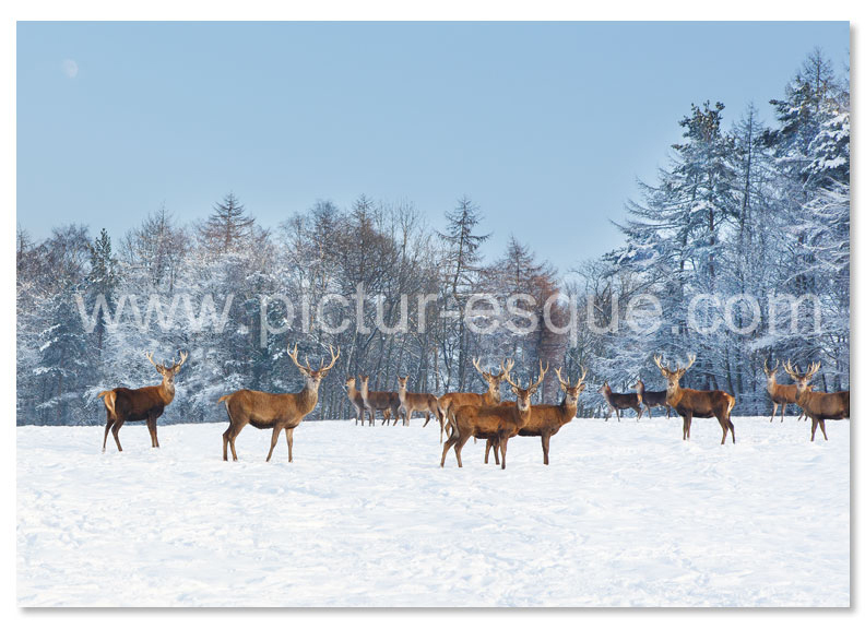 Deer in the snow Christmas card